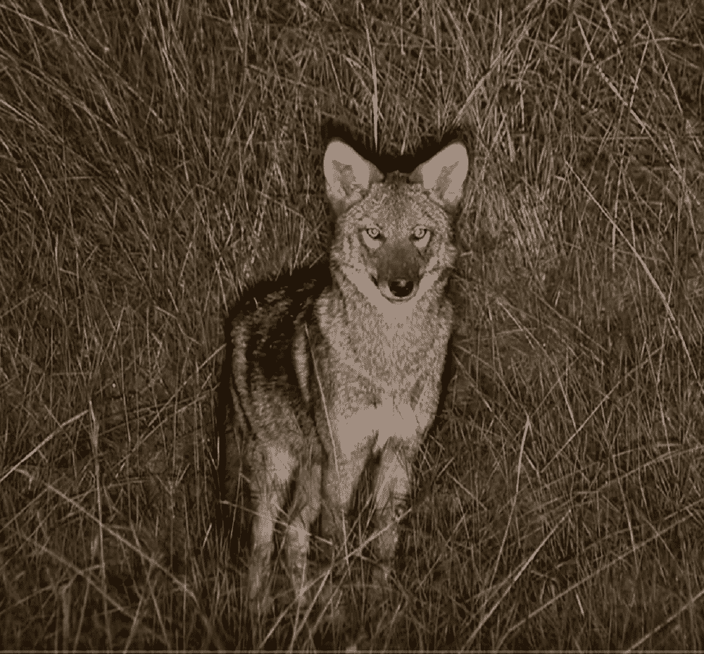 coyote hunting in the evening tips